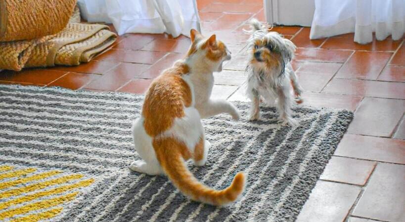 Gato nervoso com seu amigo cão.